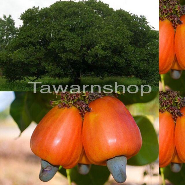 4 Fresh Thai Cashew Nut Fruit Seeds Indoor Bonsai ANACARDIUM OCCIDENTALE tree