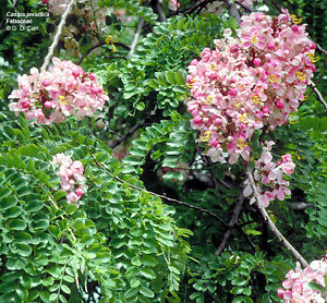 Pink Shower Tree Seed Lovely Pink Pea Flowers No Frost Ebay