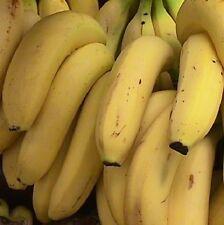 Musa Raja Psiang live Banana plant fruit tree