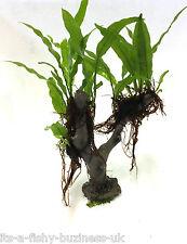 Java Fern Jungle Tree Microsorum Pteropus Plant Moss co2 Marimo #3