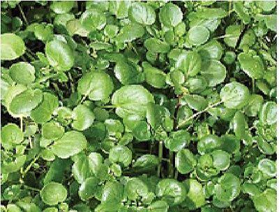 Salad - Watercress - 6000 Seeds - Vegetable