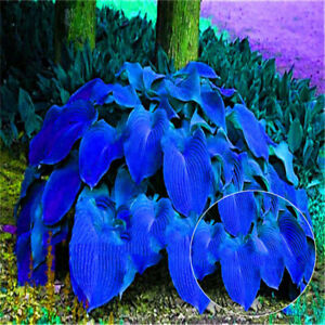 Am-200Pcs-Hosta-Plantaginea-Seeds-Fragrant-Plantain-Bonsai-Plant-Home-Garden-De