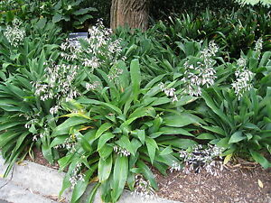 20-Semillas-Lirio-de-Roca-Arthropodium-Cirratum-Jardin-Garden-Samen-Semi
