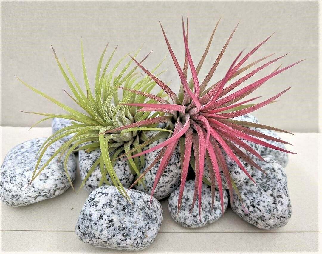 Air Plants Ionantha Tillandsia Air Plants Duo Red and Green