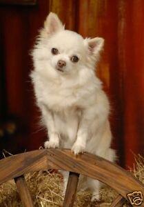 Chihuahua-Long-Coat-A6-Blank-Card-No-30-By-Starprint