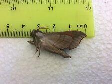 NASP27 Sphingidae A+//A Butterflies /& Moths Saturniidae Papilio