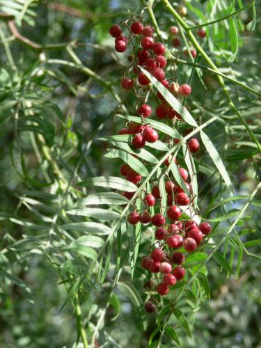 """50 graines faux Pepper Pink Pepper Tree Peruvian Pepper /""""Schinus Molle/"""""""