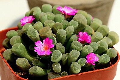 FAIRY ELEPHANT'S FEET (Frithia pulchra) 20 seeds