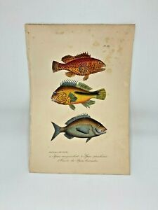 Fish-Plate-88-Lacepede-1832-Hand-Colored-Natural-History