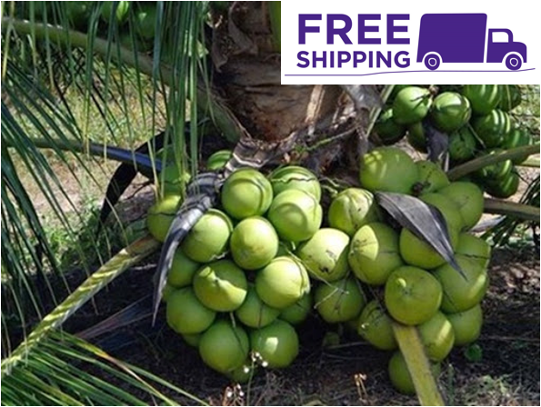 1 Coconut Dwarf Palm seed with shoots Tropical Fruit juice Fagrance Tree Tropic
