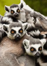 3 -D - Ansichtskarte: Katta Familie - Catta Lemur family