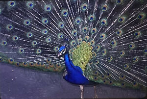Vintage-Photo-Slide-1986-Peacock-Posed-Feathers-Spread