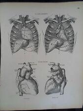 #55 Rare Vintage Old Print From Descriptive Atlas of Anatomy 1880  Medical Retro