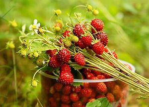 Rare Seeds Red Strawberry Blesk Zvezd Glitter Stars Organically Grown NON GMO