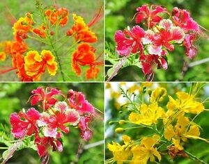 Uncle Chan 20 Seed Mix Pride Of Barbados Pink Yellow Red