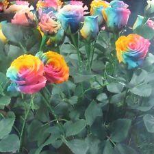 50 Graines de Rose Multicolore/3