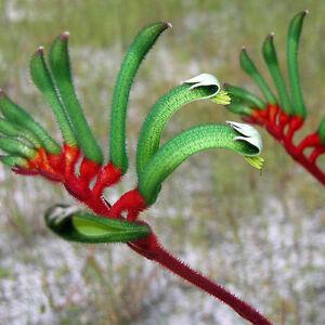 Red/&Green Kangaroo Paw/_Anigozanthos manglesii/_25 fresh seeds/_native to WA