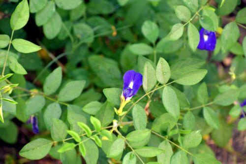 Clitoria ternatea Blue Butterfly Pea Seeds NEW Harvest Stunning Blue Flowers!