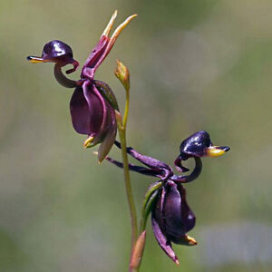 Fliegende-Ente-Samen-Hingucker-Orchidee-100x-Blume-Pflanze-Raritaet-Caleana-R1F5