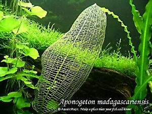 Aquarium Plant Aponogeton Madagascariensis High Safety Pet Supplies Decorations