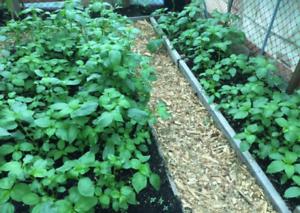 1,000+Pcs. Jute seeds,Saluyot,Koshta, Molokhia, Egyptian spinach seeds NON GMO