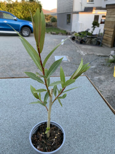Salix Gallese BIANCO-RARE E UTILE Willow per tessitura