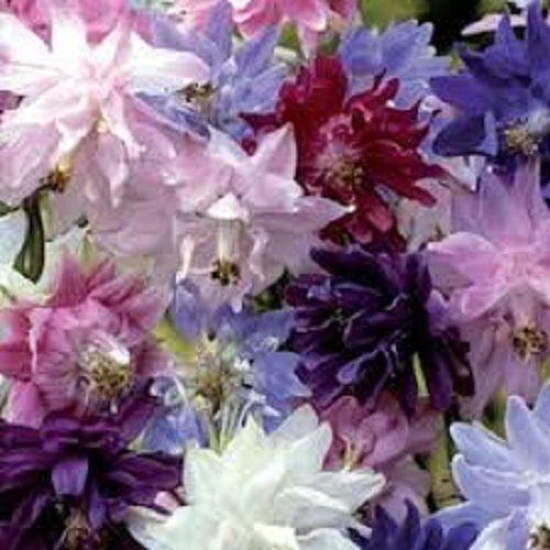 25 Barlow Mix Aquilegia Flower Seeds Perennial