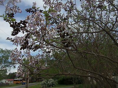 2 pack 12 - 18 inches Kiri Princess, Foxglove Empress Paulownia Tomentosa Tree