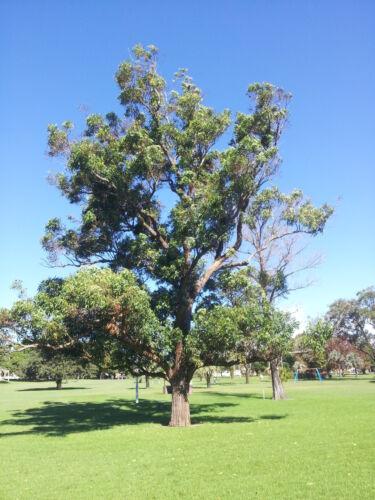 Swamp Mahogany Seed Large Tree Koala Food Winter Flowering Thick Red-Brown Bark