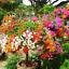 100Pcs-Bougainvillea-Flower-Seeds-Rare-Colorful-Bonsai-Pereninal-Garden thumbnail 2