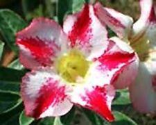 5 seeds Adenium,Fragrant Delight, Arabicum, Desert Rose