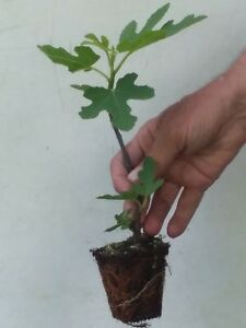 CHICAGO-HARDY-FIG-TREE-2-8-to-12-inches-BUSH-PLANTS-FREE-SHIPPING-DORMANT