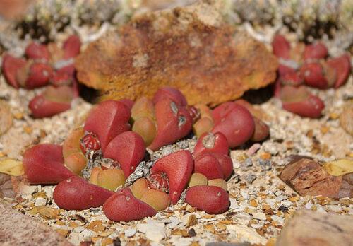 Tanquana prismatica rare rock mesembs exotic succulent cactus aloe seed 50 SEEDS