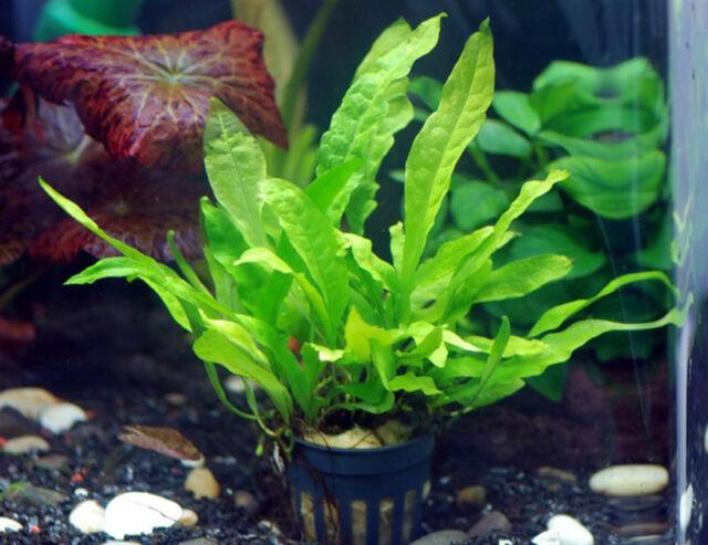 Java Fern Full Pot Microsorum Pteropus Live Aquarium Plants Moss 2get1free