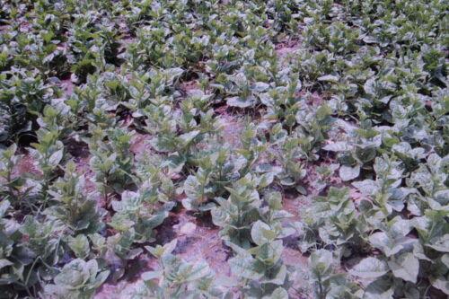 Basella Alba #549 Seed 2 Malabar-Spinat