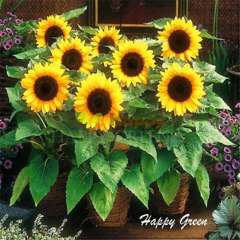 Dwarf Sunflower Seeds Helianthus Annuus Bambino Flower   50 Seeds