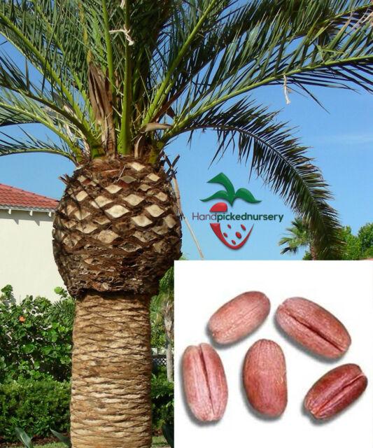 Palm Tree Island: 10 Canary Island Date Palm Tree Seeds For Sale Online