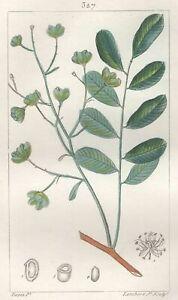 Decoration-Botanique-Fleur-Simarouba-Gravure-Pierre-Jean-Francois-Turpin