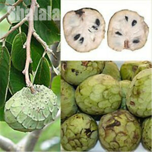 10pcs/pack Custard Apple Fruit Cherimoya Seed Sugar Apple ...