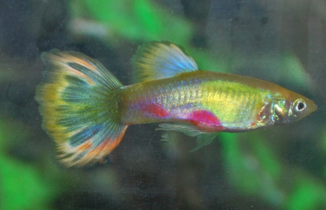 5 (five) x Pairs of Blond Parrot Guppy (Poecilia reticulata, Livebearer)