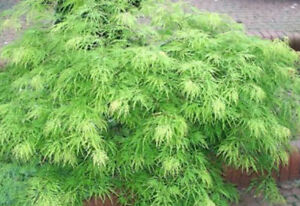 Details About Acer Palmatum Dissectum Viridis