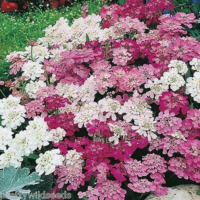 CANDYTUFT FAIRY MIX  FLOWER ANNUALS  SEEDS 1000  Seeds