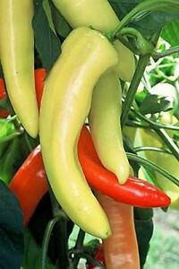 Seeds for  2019 Heirloom 50 Sweet Hungarian Banana Pepper Seeds