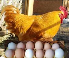6 Bonus Fresh Fertile Free Range Brown Amp White Chicken Eggs For Hatching