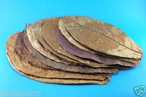"Pet Supplies Audacious 10 Pcs 8""-10"" Catappa Ketapang Indian Almond Leaves For Adjust Ph Big Tank"