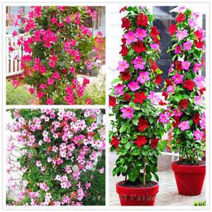 100-Mandeville-Flower-Seeds-Mixed-Dipladenia-Sanderi-Decorative-Plant