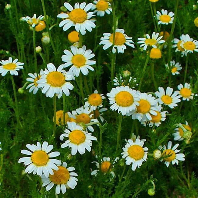 Anthemis Nobilis (Chamaemelum Nobile) - 1000 Seeds - Roman Chamomile