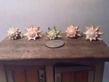 Dollhouse Miniature Spiny Turban Shell Shelf Home Decor 1:12 or 1:6 Scales