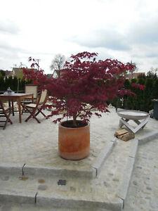 Acer-palmatum-Fireglow-120-130cm-Solitaer-roter-Faecherahorn-Samtahorn