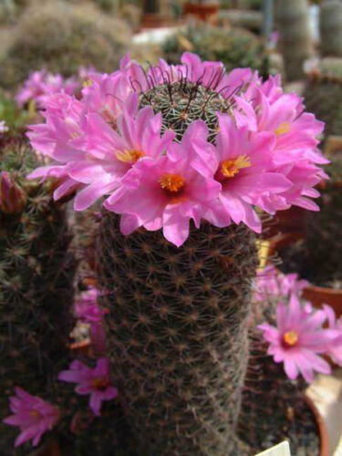 Mammillaria Sheldonii rare flower flowering cacti globular cactus seed 100 SEEDS